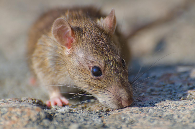 uiterlijk rat