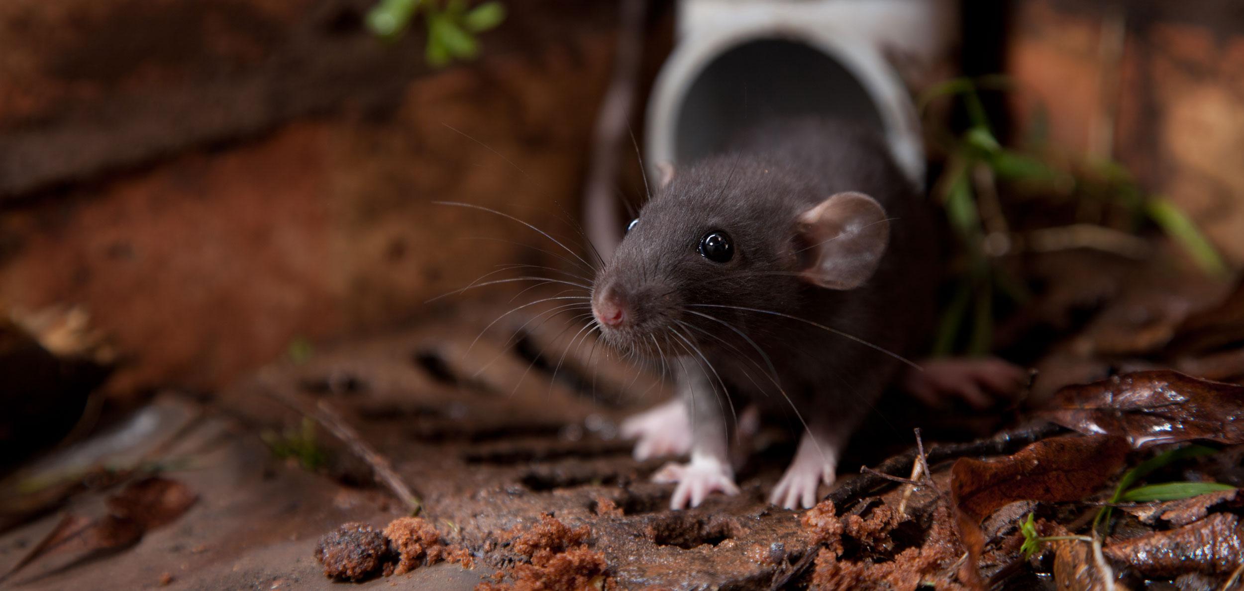 ratheader